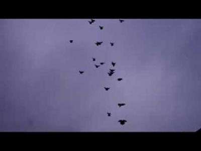 Embedded thumbnail for Николаевские голуби Виктора Миронова. г. Лиски